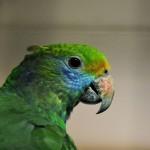 Синещекий амазон (Amazona dufresniana)