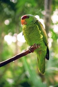 Синешапочный амазон (Amazona finschi)