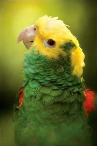 Желтоголовый амазон (Amazona oratrix)