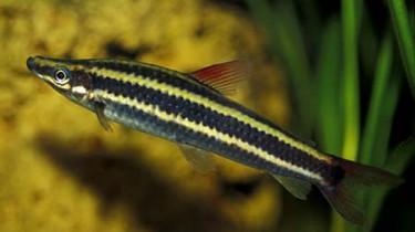 Аностомус обыкновенный (Anostomus salmoneus)