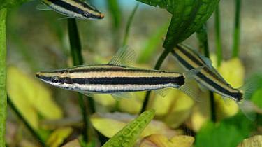 Аностомус тернеца, аностомус мраморный (Anostomus ternetzi)