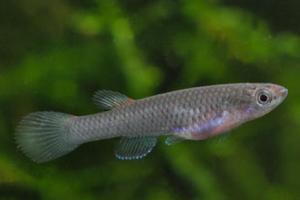 Афиосемион габонский окаймленный (Aphyosemion gabunense marginatum)