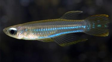 Аплохейлихтис Нормана, синеглазка (Aplocheilichthys normani)