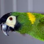 Желтошейный ара (Ara auricollis, Propyrrhura auricollis)