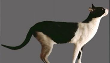 Аравийский мау