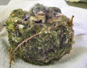 Кошка притащила хозяевам гнездо с живыми птенцами
