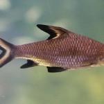 Акулий барбус или акулий балу (Balantiocheilus melanopterus)