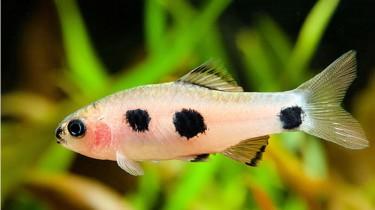 Барбус розоватый (Barbus candens)