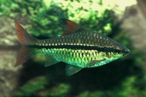 Барбус длиннополосый (Barbus holotaenia)