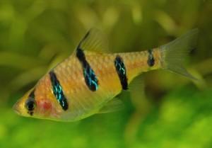 Барбус пятиполосый (Barbus pentazona)