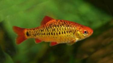 "Барбус Шуберта (Barbus semifasciolatus ""schuberti"", Puntius semifasciolatus ""schuberti"")"