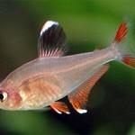 Орнатус (Hyphessobrycon bentosi bentosi)