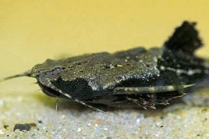 Буноцефал, Сом-коряга (Bunocephalus bicolor)