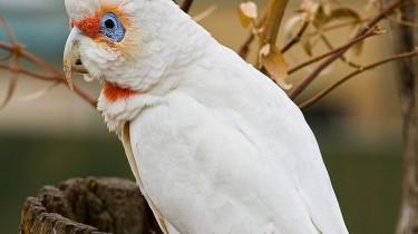 Носатый какаду (Cacatua tenuirostris, Kakatoe tenuirostris)