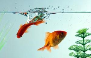 Чем и как правильно кормить рыбок?