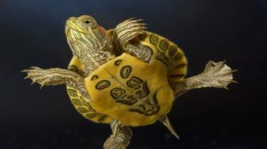 Общие сведения о черепахах