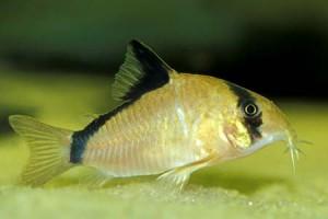 Коридорас мета или Сомик мета (Corydoras metae)