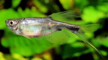 Коринопома, тетра-дракон (Corynopoma riisei)