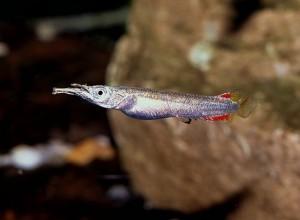 Полурыл бойцовый, или Дермогенис карликовый (Dermogenys pusillus)