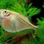 Клинобрюшка обыкновенная, стерникла, гастеропелекус стерникла (Gasteropelecus sternicla)
