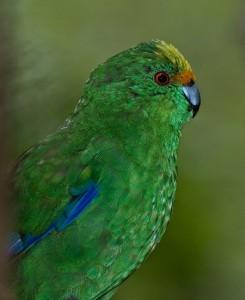 Новозеландский горный прыгающий попугай (Cyanoramphus malherbi)