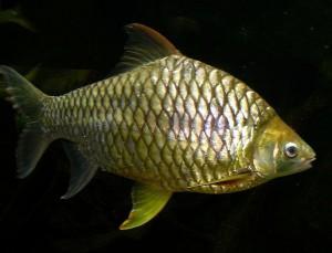 Барбус жемчужный, желтоплавничный (Hypsibarbus pierrei, Barbus pierrei, Puntius daruphani)