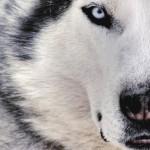 Иерархия и ранг собаки в стае