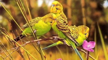 Характеристика волнистых попугаев.