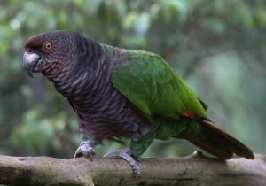 Императорский амазон (Amazona imperialis)
