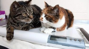 Избыточный вес помог кошкам пережить месяц без еды