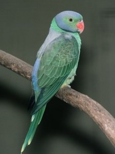 Изумрудный кольчатый попугай (Psittacula calthropae)