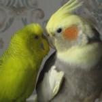 Как уживаются вместе корелла и другие попугаи