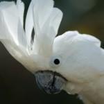 Большой белохохлый какаду (Cacatua alba, Plyctolophus alba)