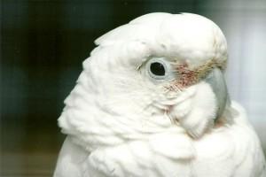 Какаду Гоффина (Cacatua goffiniana, Cacatua goffini, Kakatoe goffini)