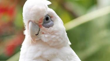 Гологлазый какаду (Cacatua sanguinea, Kakatoe sanguinea)