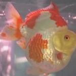 Китайцы провели первый конкурс красоты среди золотых рыбок