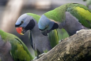 Китайский кольчатый попугай (Psittacula derbiana)