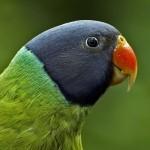 Кольчатый попугай Финша (Psittacula finschii)