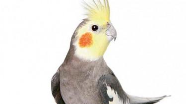 Кормление попугаев корелла (нимф)