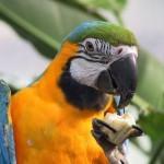 Кормление попугев ара