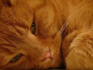 Кормление стареющих кошек
