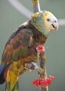 Королевский амазон (Amazona guildingii)