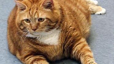 19-килограммовая кошкa поступила в приют для животных