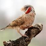 Красногорлая амадина (Amadina fasciata)