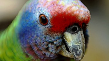 Краснохвостый амазон (Amazona brasiliensis)