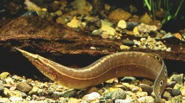 Макрогнатус узкоглазчатый (Macrognathus aculeatus)