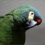 Красноспинный ара (Ara maracana, Propyrrhura maracana)