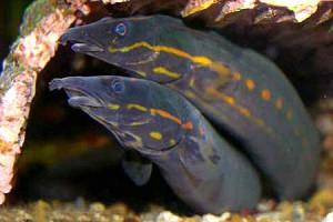 Мастацембел краснополосый, Мастацембелус краснополосый, хоботорыл краснополосый, огненный угорь (Mastacembelus erythrotaenia)
