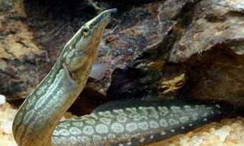Мастацембел панцирный (Mastacembelus armatus)