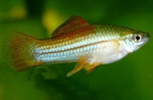 Меченосец (Xiphophorus helleri)